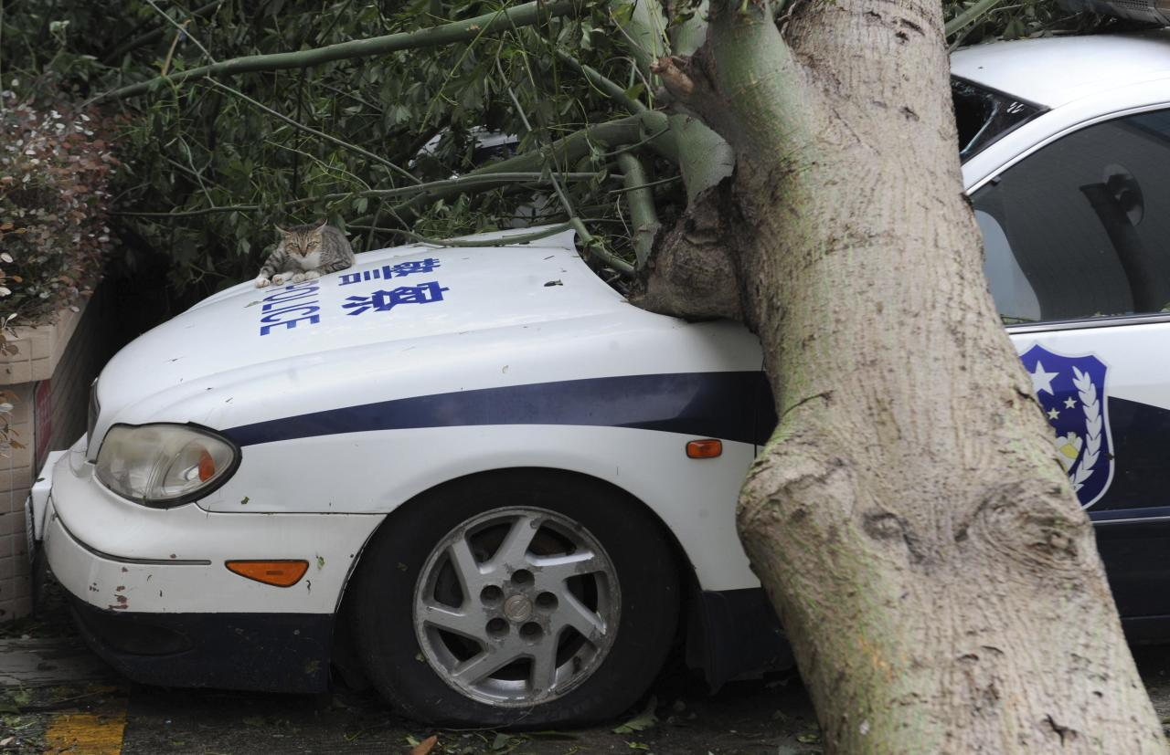 A cat lies on a police car which is damaged by a fallen tree after Typhoon Usagi hit Shanwei, Guangdong province September 23, 2013. At least 25 people have been killed, including 13 in Shanwei, since typhoon Usagi made landfall in south China's Guangdong Province on Sunday evening, Xinhua News Agency reported. Picture taken September 23, 2013. REUTERS/Stringer (CHINA - Tags: DISASTER ENVIRONMENT ANIMALS) CHINA OUT. NO COMMERCIAL OR EDITORIAL SALES IN CHINA