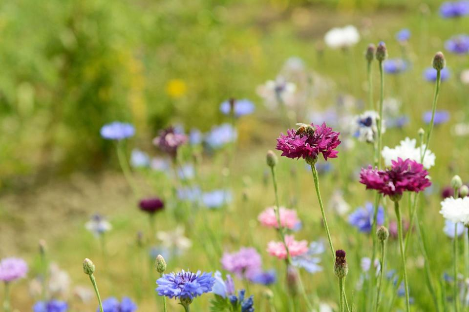 """<p>Create a haven for <a href=""""https://www.countryliving.com/uk/homes-interiors/gardens/a35921767/help-beetles-garden/"""" rel=""""nofollow noopener"""" target=""""_blank"""" data-ylk=""""slk:wildlife"""" class=""""link rapid-noclick-resp"""">wildlife</a> in your garden this summer by planting delicious bee-friendly wildflowers. From daisies to poppies, there are plenty of pollen-rich flowers for bees and butterflies to feast on. <br></p><p>Insect charity <a href=""""https://www.buglife.org.uk/"""" rel=""""nofollow noopener"""" target=""""_blank"""" data-ylk=""""slk:Buglife"""" class=""""link rapid-noclick-resp"""">Buglife</a> has launched a new plan to help pollinating insects by creating a """"bee motorway"""" across the UK. Landowners have been planting connecting highways for bees to enjoy, but they are now asking for farmers, councils and households with gardens to also get involved. </p><p>""""In your own back garden, having more bees will improve your crops, as they'll be pollinating the flowers for you! Many wildflowers also depend on the bees for pollination, so by growing more you'll certainly be doing your bit,"""" Michael Perry, <a href=""""https://www.rowsehoney.co.uk/"""" rel=""""nofollow noopener"""" target=""""_blank"""" data-ylk=""""slk:Rowse"""" class=""""link rapid-noclick-resp"""">Rowse</a> Gardening Expert, says. </p><p>Take a look at some of the flowers to plant this summer...</p>"""