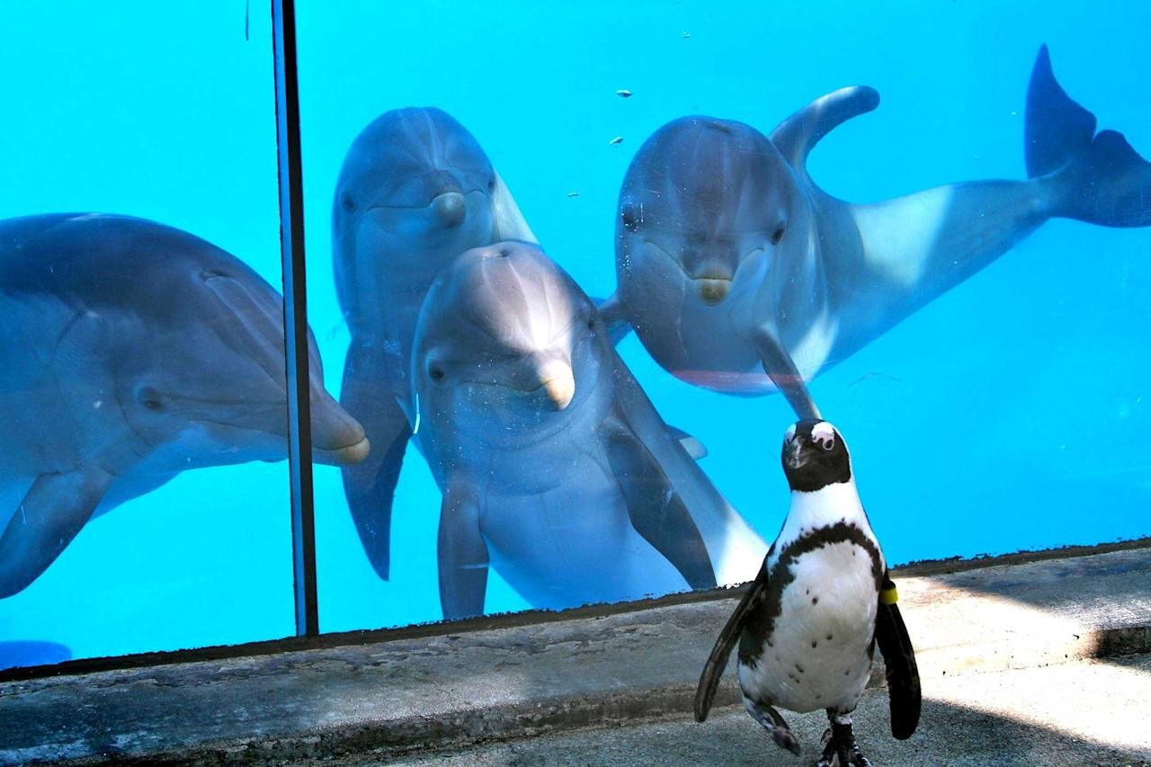 These hilarious pictures show the moment an entire school of dolphins became fascinated by a single penguin at Six Flags Discovery Kingdom, in California. Fozzie, the African penguin, was busy minding his own business when his antics suddenly became memorising to one of the cheeky troop. Before long he was joined by a friend, and then another, and then another. Nancy Chan managed to capture all four dolphins seemingly entranced by little Fozzie, who seems oblivious to all the attention (Caters)