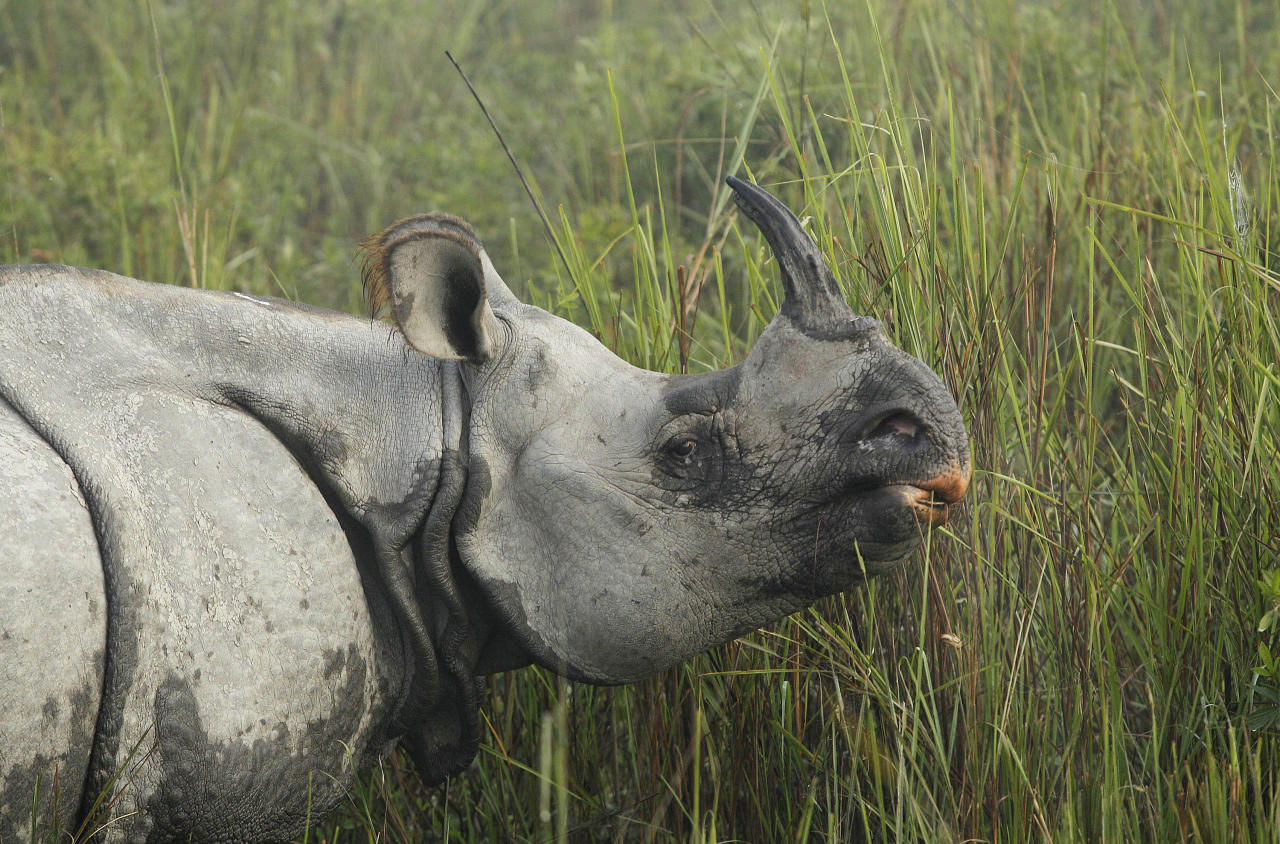 "In this Monday, Dec. 3, 2012 photo, a one-horned rhinoceros grazes inside the Kaziranga National Park, a wildlife reserve that provides refuge to more than 2,200 endangered Indian one-horned rhinoceros, in the northeastern Indian state of Assam. Even in this well protected reserve, where rangers follow shoot-to-kill orders, poachers are laying siege to ""Fortress Kaziranga,"" attempting to sheer off the animals' horns to supply a surge in demand for purported medicine in China that's pricier than gold. A number of guards have been killed along with 108 poachers since 1985 while 507 rhino have perished by gunfire, electrocution or spiked pits set by the poachers, according to the park. (AP Photo/Anupam Nath)"