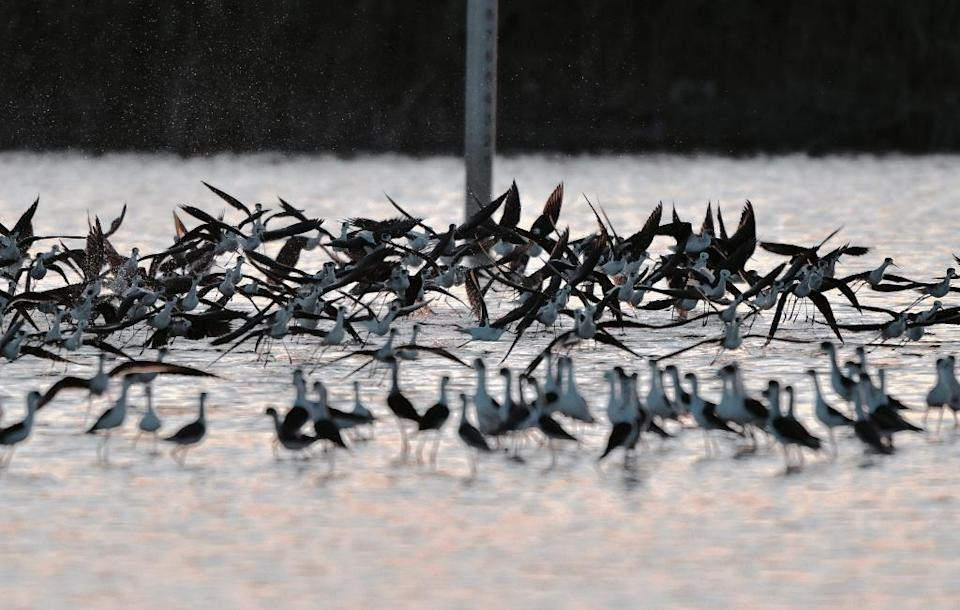 A flock of Black-winged Stilts fly above a wetland at the Guandu Nature Park in Taipei (AFP Photo/Sam Yeh)
