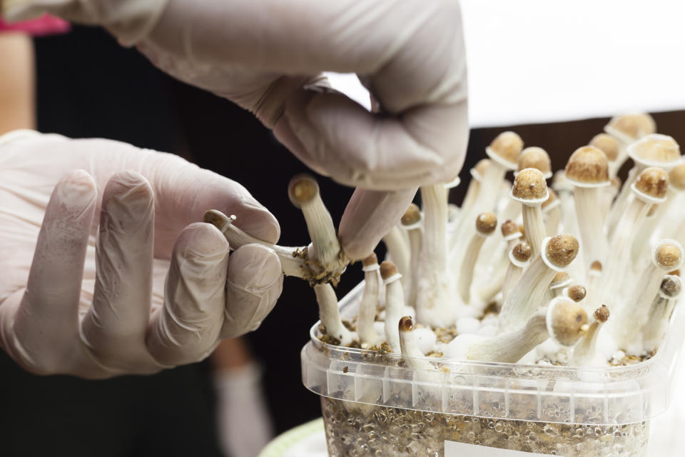 Psylocibin mushrooms growing in magic mushroom breads on an isolated plastic environment being collected by expert hands wearing white latex medical gloves.