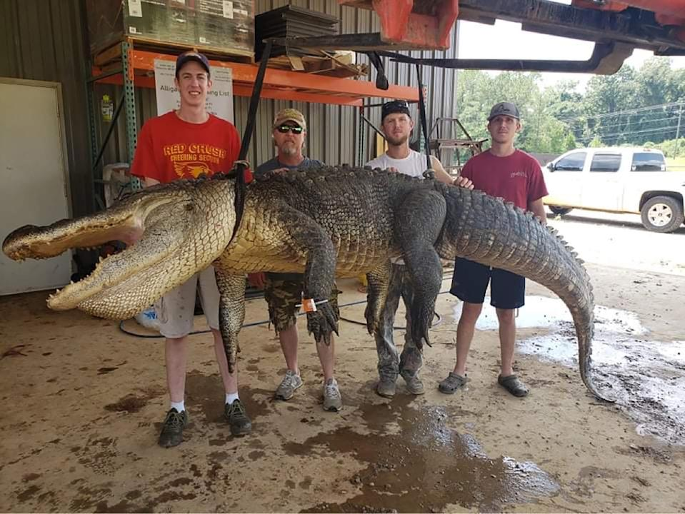 (From left) Jordan Hackl of Warrensburg, Illinois, John Hamilton of Raleigh, Todd Hollingsworth and Landon Hollingsworth, both of Mize, pose with an alligator they caught In Mississippi September 2, 2021. Artifacts dating as far back as an estimated 6000 BC were found in the alligator's stomach.