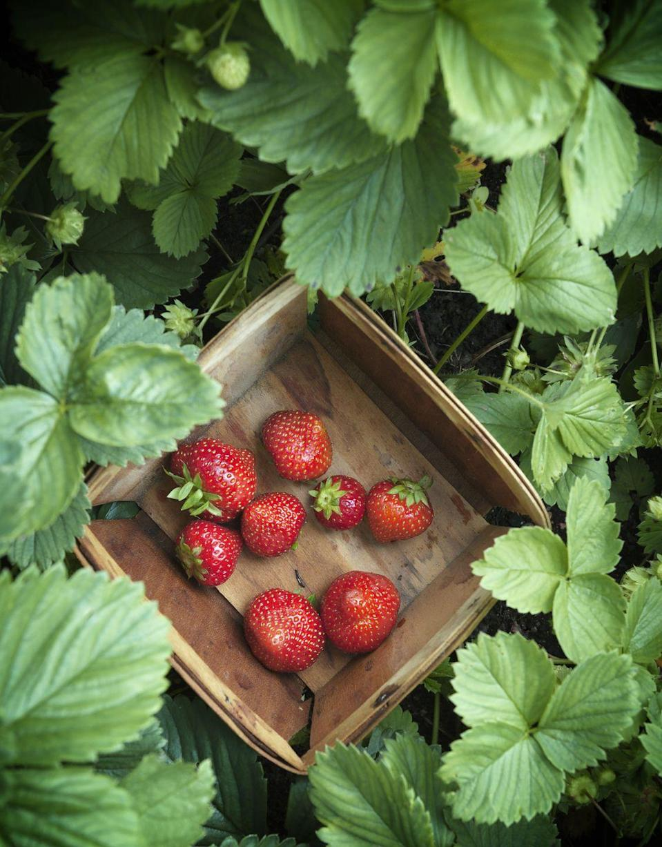 """<p>When it's no longer at the farmers' market, you're going to wish you figured out how to preserve the freshness of your favorite summer fruit. Try this genius trick for <a href=""""https://www.countryliving.com/food-drinks/a35633/summer-strawberry-tricks/"""" rel=""""nofollow noopener"""" target=""""_blank"""" data-ylk=""""slk:freezing strawberries"""" class=""""link rapid-noclick-resp"""">freezing strawberries</a></p><p><strong>RELATED:</strong> <a href=""""https://www.countryliving.com/food-drinks/g1683/delicious-pickled-recipes/"""" rel=""""nofollow noopener"""" target=""""_blank"""" data-ylk=""""slk:27 Delicious Pickle Recipes"""" class=""""link rapid-noclick-resp"""">27 Delicious Pickle Recipes</a>.</p>"""