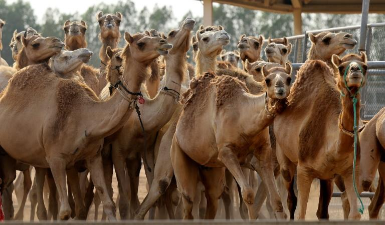 The Reproductive Biotechnology Center turns out around 20 camel calves per year (AFP/Karim SAHIB)