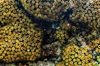A Moray eel pokes out of a Cladocora caespitosa coral, commonly known as cushion coral, in waters near Ayia Napa in southeastern Cyprus