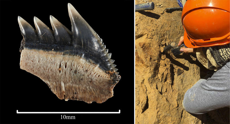 An amateur fossil hunter and paleontologists found a rare set of teeth from prehistoric mega-toothed shark.