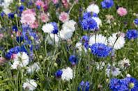 """<p>Create a haven for bees and butterflies in your garden by planting a handful of vibrant cornflowers. Rich in scent and colour, these are an important source of pollen and nectar for bees, especially honey bees.</p><p>Michael adds: """"Blooms will appear in the summer months, which surprisingly is when the honey bees source of food is at its most scarce, and will usually peak in production at around 11am each day so look out then for their full beauty!""""</p><p><a class=""""link rapid-noclick-resp"""" href=""""https://go.redirectingat.com?id=127X1599956&url=https%3A%2F%2Fwww.suttons.co.uk%2Fflower-seeds%2Fall%2Fcornflower-seeds---classic-fantastic_110955&sref=https%3A%2F%2Fwww.countryliving.com%2Fuk%2Fhomes-interiors%2Fgardens%2Fg35975865%2Fbee-friendly-wildflowers%2F"""" rel=""""nofollow noopener"""" target=""""_blank"""" data-ylk=""""slk:BUY CORNFLOWER SEEDS"""">BUY CORNFLOWER SEEDS</a></p>"""