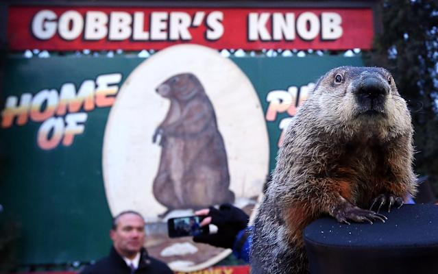 PUNXSUTAWNEY, PA - FEBRUARY 02: Groundhog Punxsutawney Phil climbs on the top hat of his handler after Phil did not see his shadow and predicting an early spring during the 127th Groundhog Day Celebration at Gobbler's Knob on February 2, 2013 in Punxsutawney, Pennsylvania. The Punxsutawney 'Inner Circle' claimed that there were about 35,000 people gathered at the event to watch Phil's annual forecast. (Photo by Alex Wong/Getty Images)