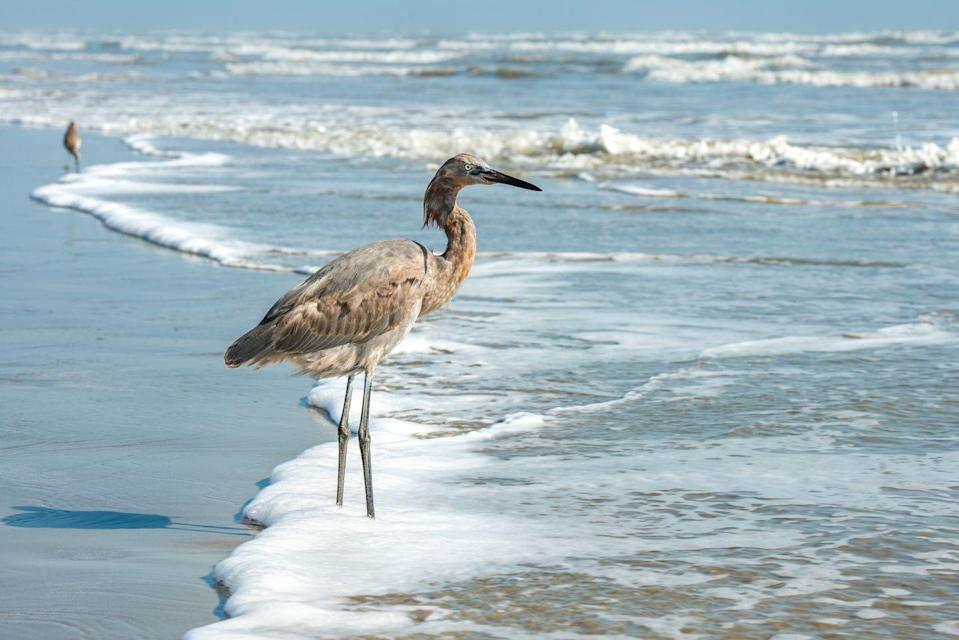 <p>A great blue heron standing on the beach in Port Aransas, Texas.</p>