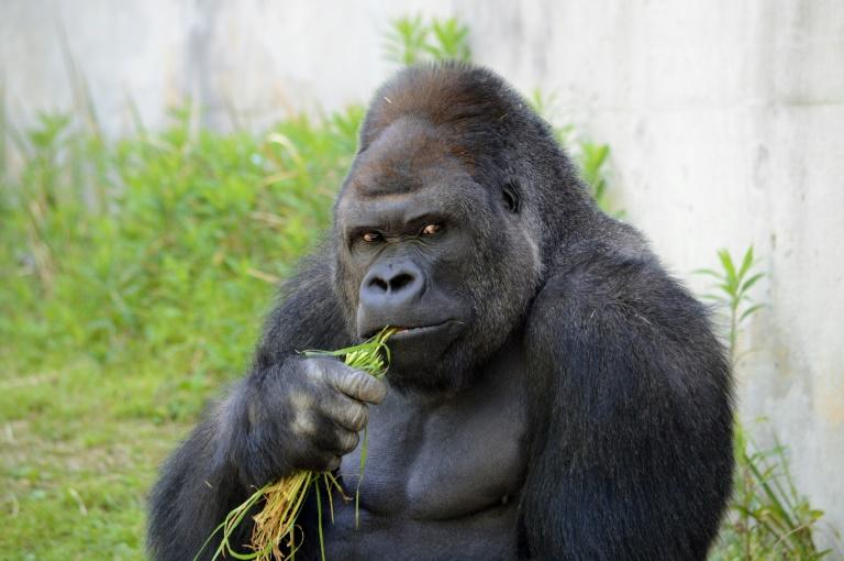 Giant male gorilla Shabani, weighing around 180kg, seen at the Higashiyama Zoo in Nagoya, central Japan's Aichi prefecture
