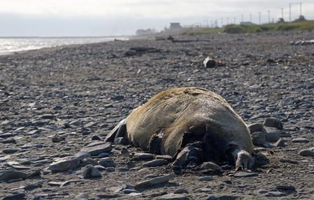 FILE PHOTO: One of many dead seals found washed up on beaches along the Bering Strait, is pictured in Nome
