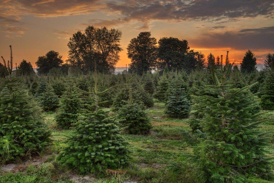 """<p><strong>Wahiawa, Hawaii </strong>(November 29-December 23)</p><p>Prepare to say """"Mele Kalikimaka"""" after you locate your Christmas tree at <strong><a href=""""http://www.helemanofarms.com/location.html"""" rel=""""nofollow noopener"""" target=""""_blank"""" data-ylk=""""slk:Helemano Farms"""" class=""""link rapid-noclick-resp"""">Helemano Farms</a></strong>. These trees are grown on-site, making it a unique, safer option for the Hawaiian environment. Have a pet? Dogs are welcome, as long as you keep them on a leash. <br></p>"""