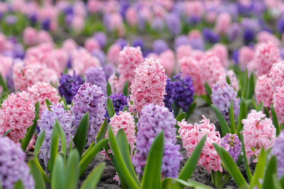 flower bed with multi-colored hyacinths
