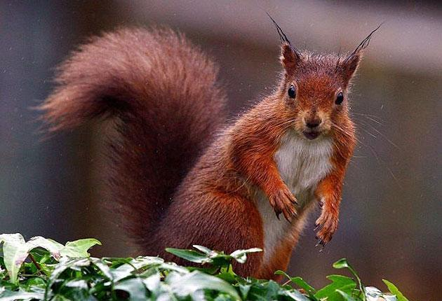 Without greater conservation efforts, red squirrels could become extinct in England in the next decade as invasive grey squirrels take over (PA)