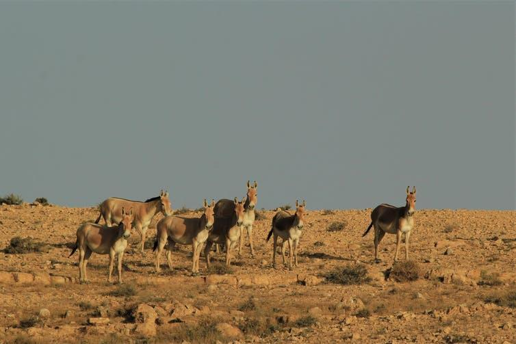 A herd of wild asses in the desert.