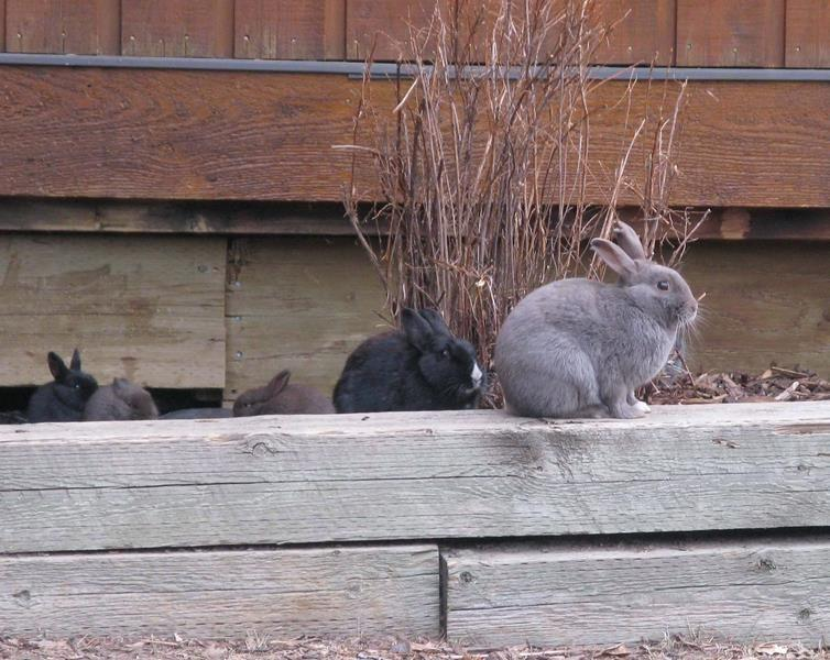 Cull hasn't been able to solve bunny burden in Alberta mountain town of Canmore