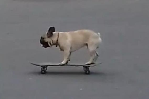 Watch him go: The skateboarding pug kept at it for several minutes (@MathewTucker1)