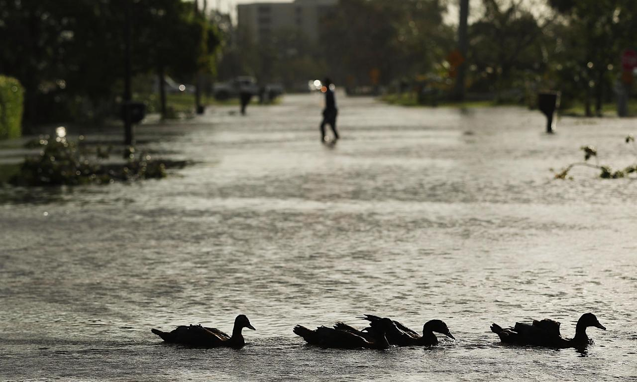 Fine weather for ducks ... Naples, Florida, in the aftermath of hurricane Irma.
