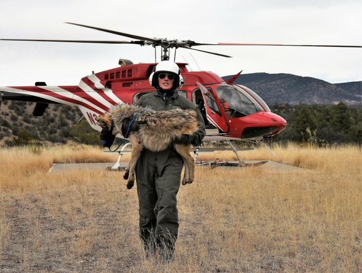 FILE - In this Feb. 13, 2019, file photo provided by the U.S. Fish and Wildlife Service, a member of the Mexican gray wolf recovery team carries a wolf captured during an annual census near Alpine, Ariz. Once on the verge of extinction, the rarest subspecies of the gray wolf in North America has seen its population nearly double over the last five years. U.S. wildlife managers said Friday, March 12, 2021, the latest survey shows there are now at least 186 Mexican gray wolves in the wild in New Mexico and Arizona. (Mark Davis, U.S. Fish and Wildlife Service via AP, File)