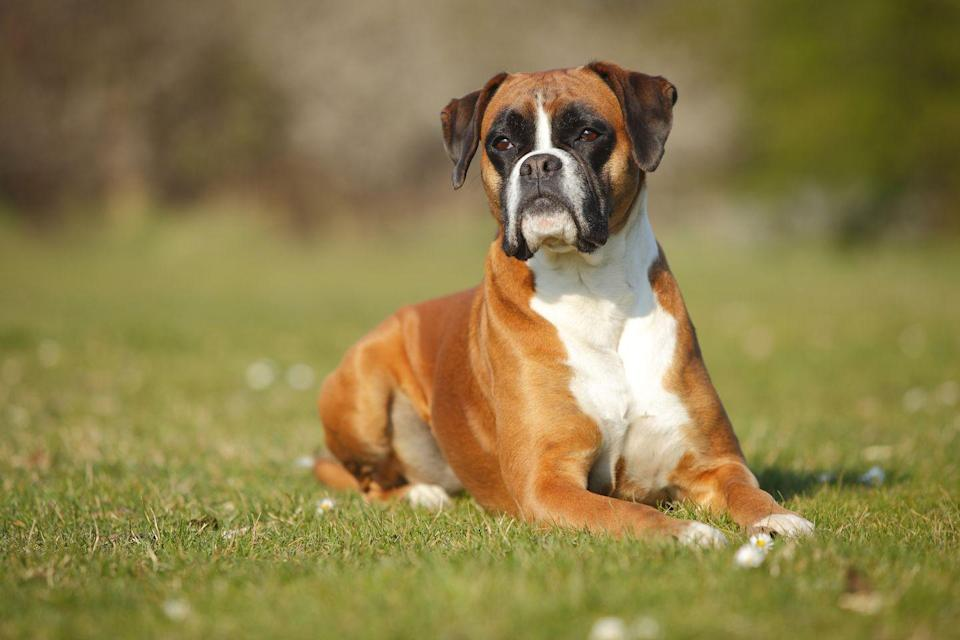 """<p>Like Cocker Spaniels, <a href=""""https://pets.thenest.com/hypothyroidism-boxers-5760.html"""" rel=""""nofollow noopener"""" target=""""_blank"""" data-ylk=""""slk:hypothyroidism is common in Boxers"""" class=""""link rapid-noclick-resp""""> hypothyroidism is common in Boxers</a>, according to The Nest, which lowers their metabolism and makes them more likely to gain weight. These pups tend to be playful, so if your Boxer starts slowing down, you should check in with your vet. </p>"""