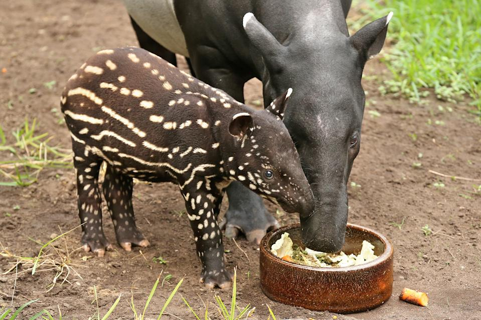 A young Malayan tapir eats next to its mother in their enclosure in the zoo in Leipzig, eastern Germany. (Photo: Jan Woitas/DPA/AFP via Getty Images)