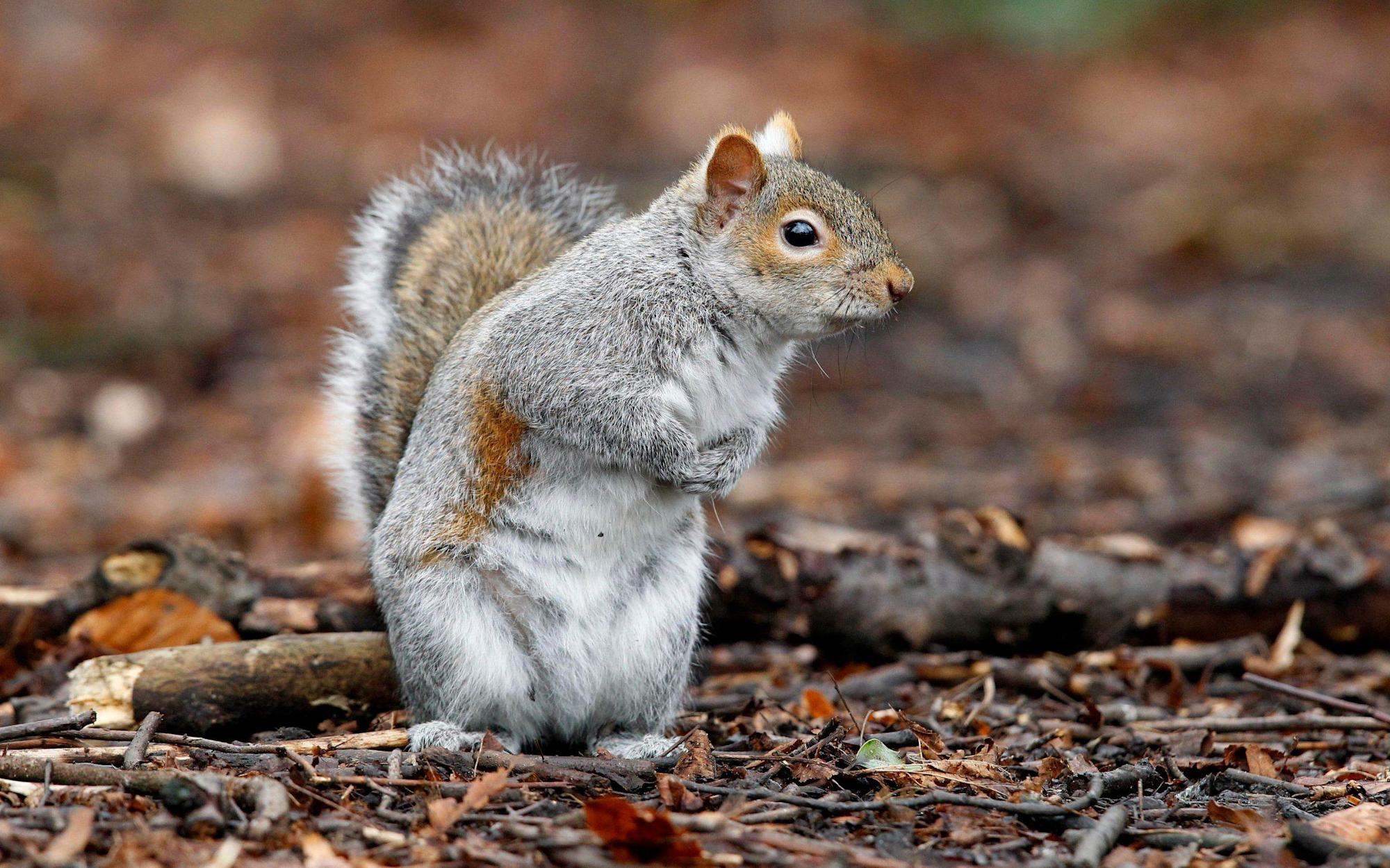 Releasing mutant grey squirrels into wild to spread infertility could tackle burgeoning population