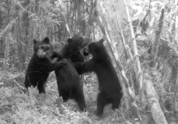 No Pictures, Please! Andean Bears Wreck Research Camera (Video)