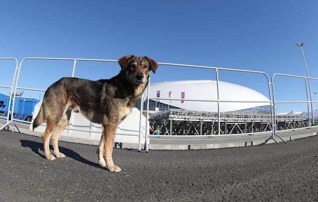 SOCHI, RUSSIA - FEBRUARY 03: A stray dog walks through Olympic Park ahead of the Sochi 2014 Winter Olympics on February 3, 2014 in Sochi, Russia. (Photo by Bruce Bennett/Getty Images)