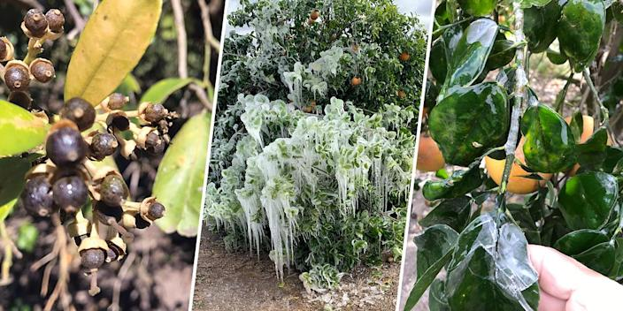 Citrus trees were covered in snow and ice when temperatures dropped below freezing during the peak of the cold weather. (Courtesy Dale Murden / via Texas Farm Bureau)