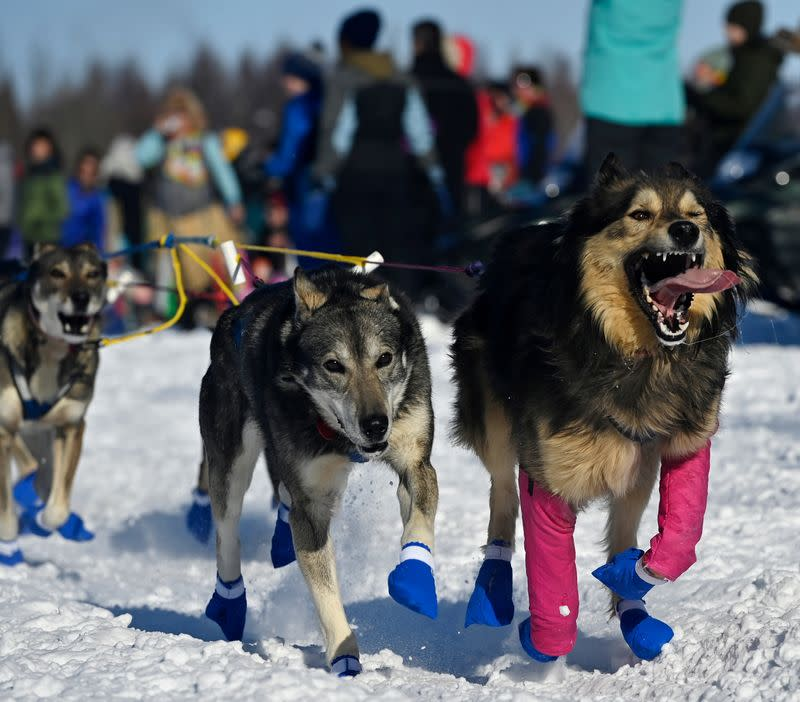 Leaders for Wade Marrs run toward the Susitna River during the Iditarod Sled Dog Race