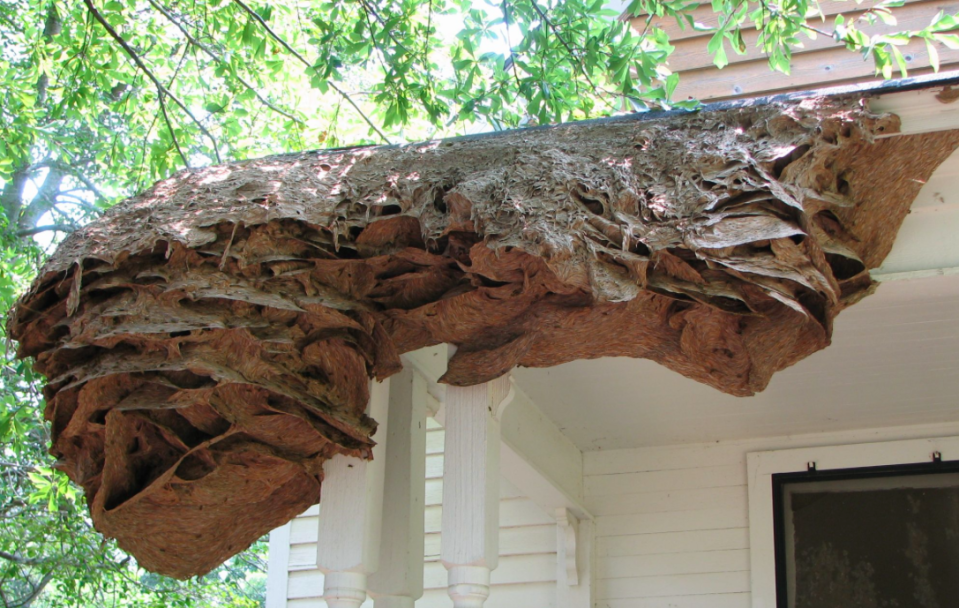 Wasps nest as big as this one could return to Alabama this summer (Picture: Alabama Cooperative Extension System)