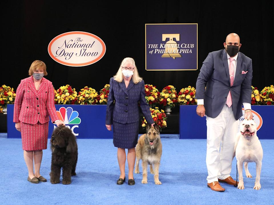 <p>Three breeds are making their National Dog Show debut this year: from left to right, the Barbet, the Belgian Laekenois, and the Dogo Argentino</p>NBCU Photo Bank via Getty Images