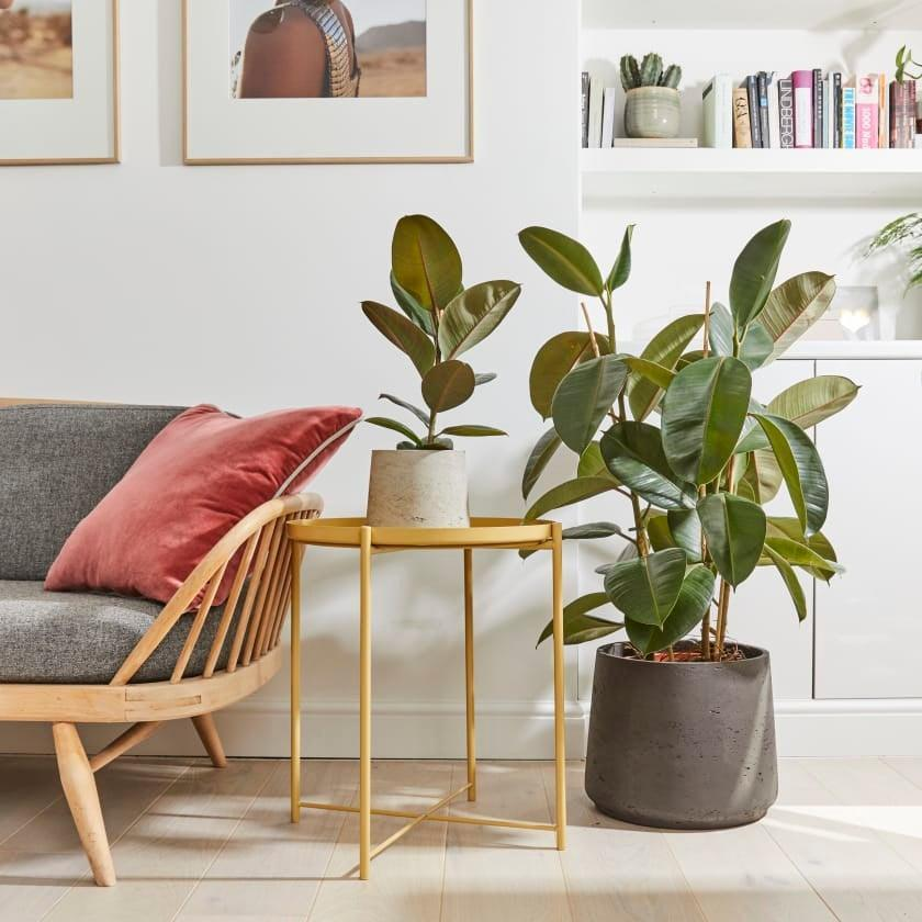"""<strong>Under £150</strong><br><br>I really want a big plant. Like, a big, big boy. My living room is currently lacking any real vegetation and this rubber plant looks like it will make a real impact on the space.<br><br><strong>Patch Plants</strong> Rubber Plant, $, available at <a href=""""https://www.patchplants.com/gb/en/plants/rubber-plant-176/"""" rel=""""nofollow noopener"""" target=""""_blank"""" data-ylk=""""slk:Patch Plants"""" class=""""link rapid-noclick-resp"""">Patch Plants</a>"""