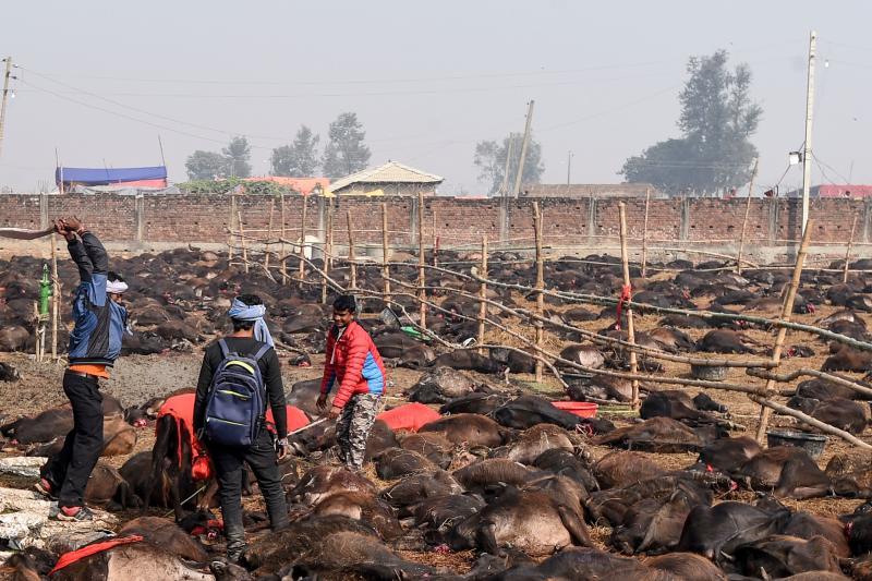 EDITORS NOTE: Graphic content / A Hindu devotee slaughters a buffalo as an offering to Hindu goddess Gadhimai during the Gadhimai Festival in Bariyarpur, 160 kms south of the capital Kathmandu on December 3, 2019. - The stench of raw meat hung in the air and pools of blood dotted the muddy ground on December 3 as what is thought to be the world's biggest animal sacrifice swung into action in a remote area of Nepal. (Photo by PRAKASH MATHEMA / AFP) / GRAPHIC CONTENT (Photo by PRAKASH MATHEMA/AFP via Getty Images)