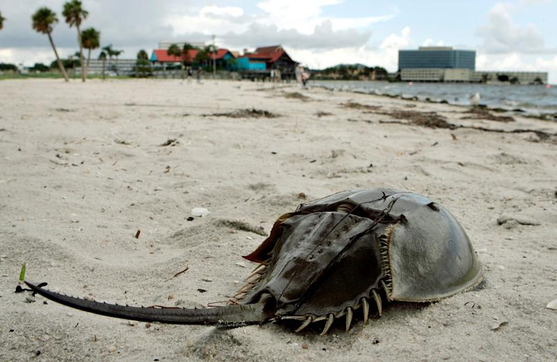 Tampa officials closed Ben T. Davis beach in July 2008 after dead fish and horseshoe crabs washed up on shore.