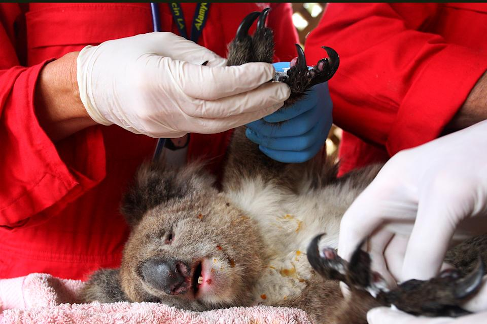 KANGAROO ISLAND, AUSTRALIA - JANUARY 10: An injured koala is treated at the Kangaroo Island Wildlife Zoo on January 10, 2020 in Kangaroo Island, Australia. The town of Kingscote was cut off last night as the Country Fire Service (CFS) continued to battle a number of out-of-control blazes. The fires have taken two lives and burnt more than 155,000 hectares destroying atleast 56 homes since starting on January 4th. (Lisa Maree Williams/Getty Images)