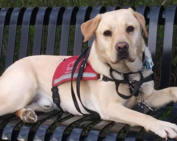 Alder is a certified service dog through the Lions Foundation of Canada Dog Guides.