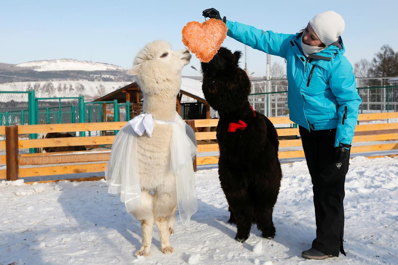 Zoo keeper Yelena Shabanova treats a couple of young alpacas, male Romeo (R) and female Juliette, to a pie formed as a heart and made of carrots as employees congratulate coupled animals on Valentine's Day at the Roev Ruchey Zoo in Krasnoyarsk, Russia February 14, 2017. REUTERS/Ilya Naymushin