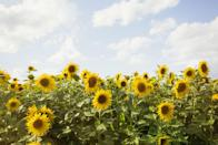 """<p><strong>Looking to visit a glorious flower field this <a href=""""https://www.housebeautiful.com/uk/garden/g36276312/instagrammable-garden/"""" rel=""""nofollow noopener"""" target=""""_blank"""" data-ylk=""""slk:summer"""" class=""""link rapid-noclick-resp"""">summer</a>? From dazzling lavender displays to rolling carpets of colourful tulips, </strong><strong>there are plenty of beautiful fields you won't believe are in the UK. </strong> </p><p>To help you locate the best spots, <a href=""""https://go.redirectingat.com?id=127X1599956&url=https%3A%2F%2Fwww.interflora.co.uk%2F&sref=https%3A%2F%2Fwww.housebeautiful.com%2Fuk%2Fgarden%2Fplants%2Fg36337666%2Fflower-field%2F"""" rel=""""nofollow noopener"""" target=""""_blank"""" data-ylk=""""slk:Interflora"""" class=""""link rapid-noclick-resp"""">Interflora</a> has researched the most Instagrammable flower fields in the UK based on the number of hashtags. From sunflower fields in Wales to sustainable confetti fields in Worcestershire, you'll find a vast selection of mood-boosting blooms to visit. </p><p>Some offer pick-your-own services so you can take a bunch home with you, while others are simply great just to enjoy. Please note that some fields may be operating differently due to the coronavirus (COVID-19) pandemic, so always check before you travel. </p><p>On that note, take a look at some of the prettiest fields below...</p>"""
