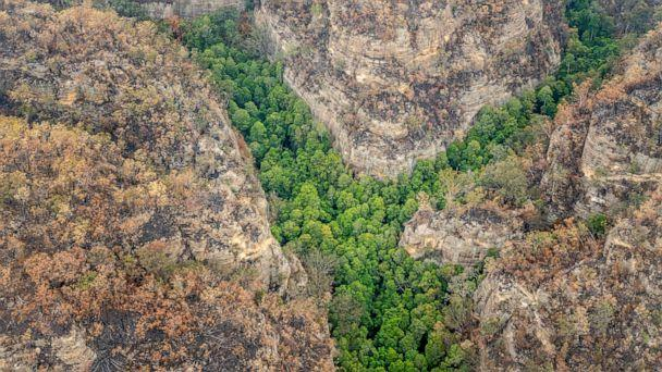 PHOTO: Wollemi Pines are pictured in the Blue Mountains in Australia, Jan. 9, 2020. A specialist team of remote firefighters have helped save the pre-historic species known as 'Dinosaur trees' from this season's bushfires. (NSW Department of Planning, Industry and Environment)