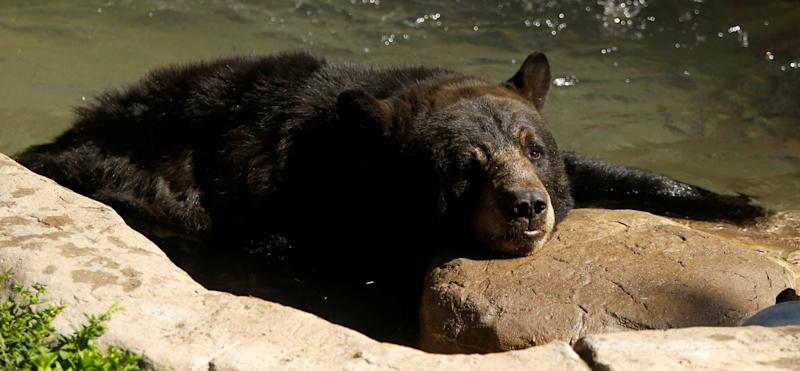 Thailand Bear Dies After Falling From Helicopter