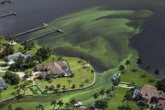 <p>Blue-green algae enveloping an area along the St. Lucie River is shown in Stuart, Fla., June 29, 2016. The Indian River Lagoon is the most diverse lagoon ecosystem in the Northern hemisphere. (Photo: Greg Lovett/The Palm Beach Post via AP) </p>