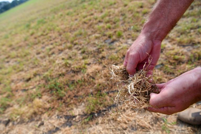 Farmer Christian Sancken shows dried grass in his drought-affected field in Cuxhaven, northern Germany, last month