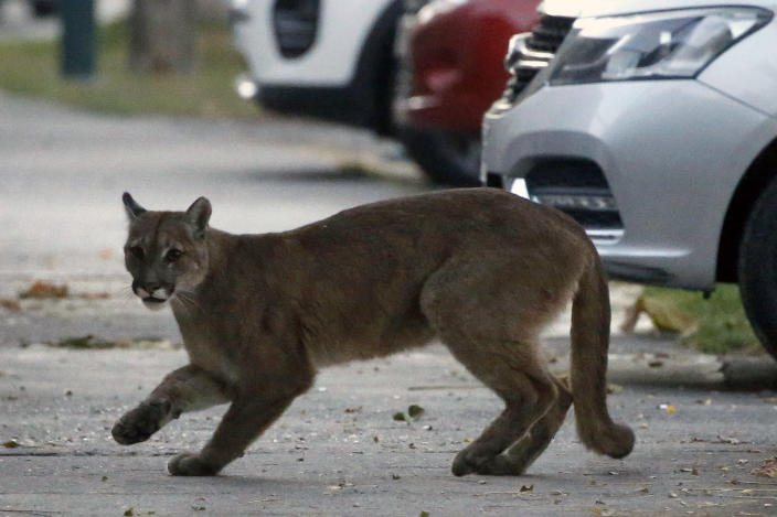 A one-year-old puma prowls the streets of Santiago, Chile. (Getty Images)