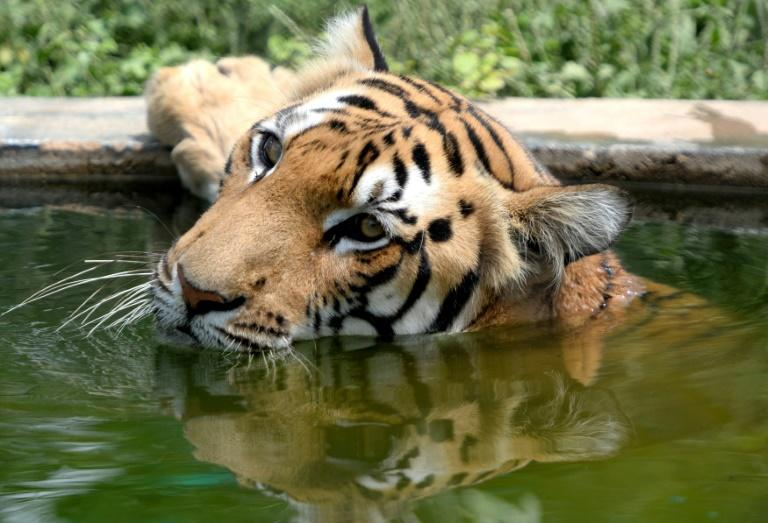A Bengal tiger rests in an enclosure at India's Arignar Anna Zoological Park in 2018