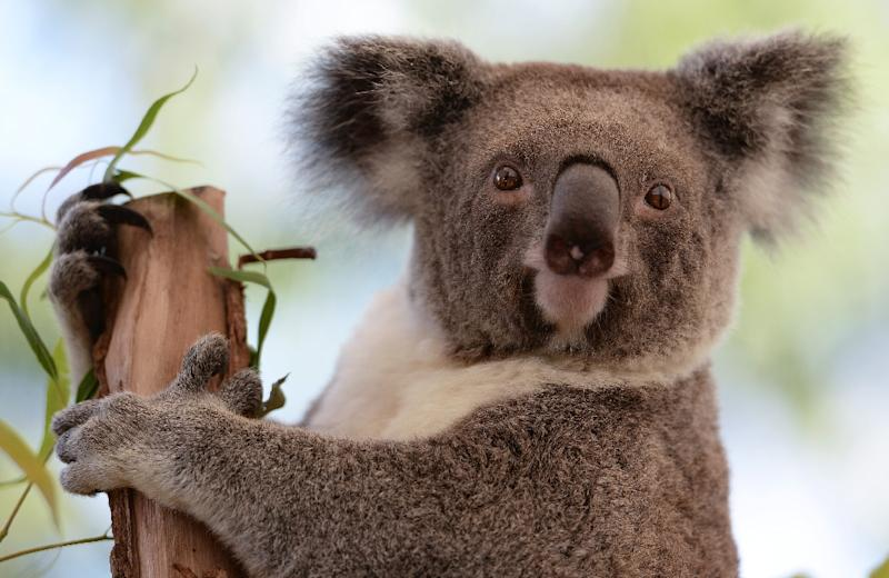 A male koala (not pictured) became wedged between a car's bumper and front grilles after it was hit crossing the South Eastern Freeway about 20 kilometres (12 miles) south-east of Adelaide on Tuesday night