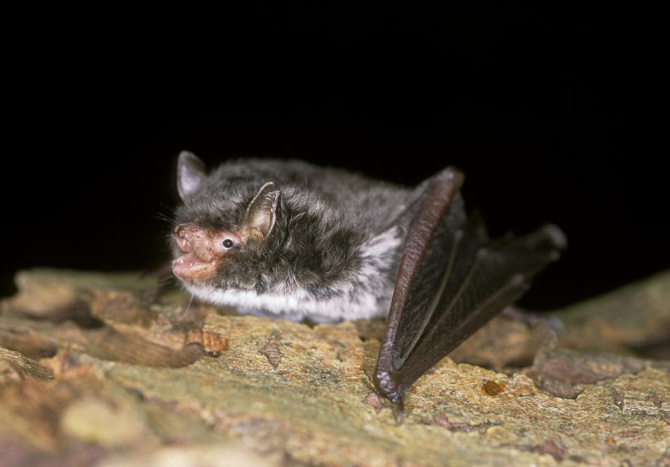 The pilot has allowed for large scale surveying that would not be possible before (Hugh Clark/www.bats.org.uk/PA)