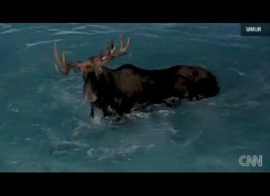 This New Hampshire moose was swimming a little too deep, forcing nine rescue workers to help remove it from the pool.