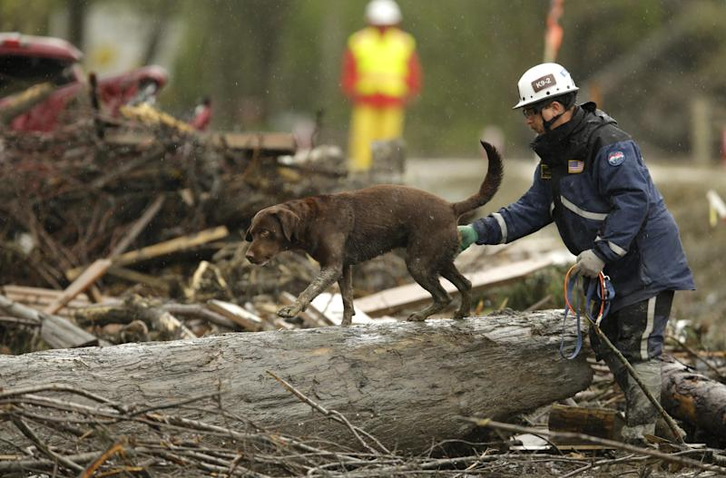 FILE - In this Wednesday, April 16, 2014 file photo, a search dog walks on a tree as the search continues for the remaining missing victims of the massive deadly mudslide that hit the community of Oso, Wash. Combing through fallen trees, wrecked homes and other debris, officials spent nearly five weeks looking for bodies at the site of the March 22 Oso mudslide. On Monday, April 28, 2014, officials announced they would no longer be actively looking for bodies. The task now switches to clearing debris from the area. A total of 41 bodies have been recovered. Two people remain missing. (AP Photo/Ted S. Warren, File)